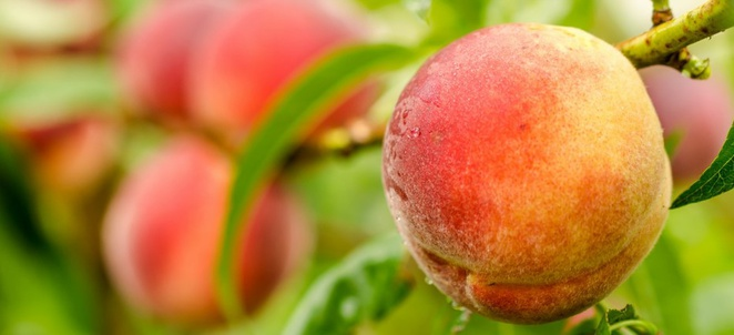 Peach Season and Preservation