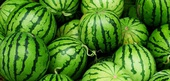 Watermelon Season and Preservation