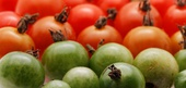 Tomato History and Factoids