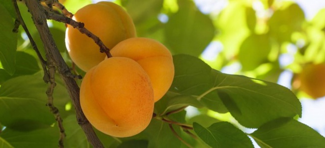 Apricot Season and Preservation
