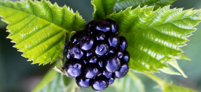 Blackberry Nutrition Facts