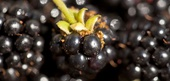 Blackberry Recipes and Flavor Pairings