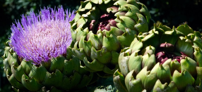 Artichoke Facts
