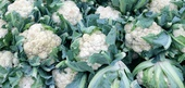 Cauliflower Season