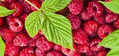 Raspberry History and Factoids